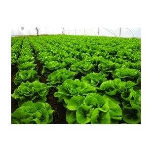 Syngenta Salata Centore, 5000 seminte