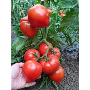 Syngenta Seminte de tomate semideterminate Pekonet F1, 500 sem