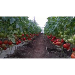 Syngenta Seminte de tomate semideterminate Gravitet F1, 500 sem