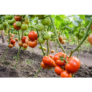 Syngenta Seminte de tomate semideterminate Qualitet F1, 500 sem